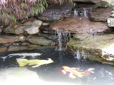 Pondscapes maryland pond cleanings for Ornamental fish pond maintenance